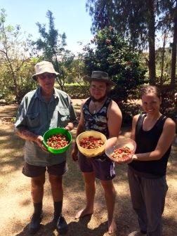 Harvesting strawberries for jam