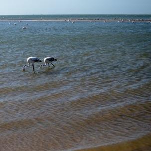 Flamingos in Walvis Bay