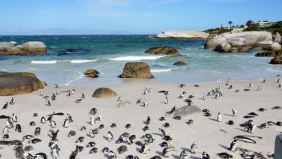 African Penguins in Simon's Town!