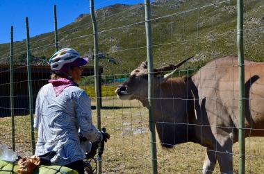 Elands are the largest antelope in Africa - this one is very partial to humans after being rescued and bottle-fed by Tania