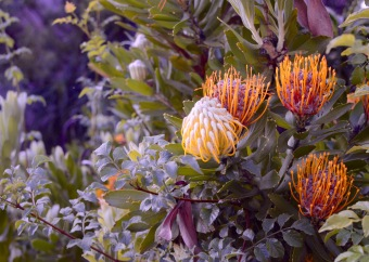 One of many lovely proteas in the region