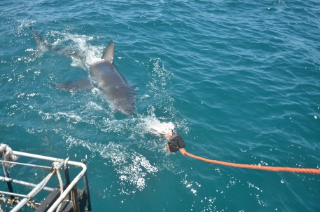 First of 4 sharks to come to the boat. I was surprised by how shy they were, and only swam past the cage to chase the tuna-head (bait)