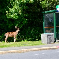 Just a city deer out for his lunch, watching the buses go by
