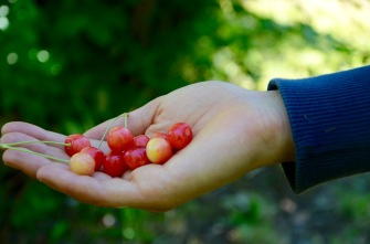Wild cherries (we hope) that we picked and ate at our campsite - perfect snack!